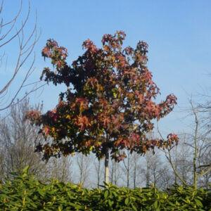 Liquidambar styraciflua 'Autumn Color' – Amerikai ámbrafa