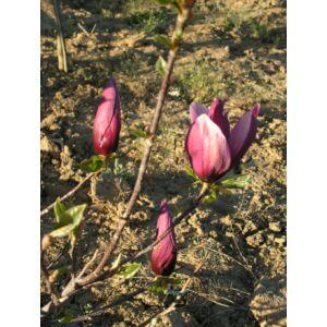 Magnolia liliflora 'Nigra' - Liliomfa