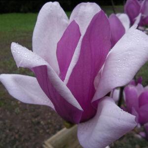 Magnolia 'Alexandrina' – Nagyvirágú liliomfa