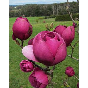 Magnolia 'Black Tulip' – Liliomfa oltvány