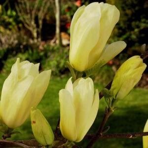 Magnolia  brooklynensis 'Elisabeth' - Sárga virágú liliomfa