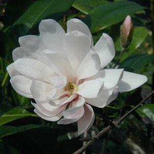 Magnolia 'Champaign' – Liliomfa