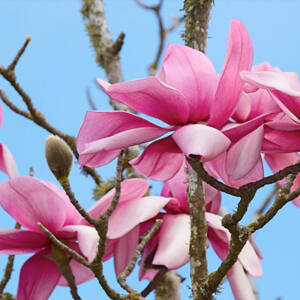 Magnolia campbellii 'Charles Raffill' – Liliomfa oltvány
