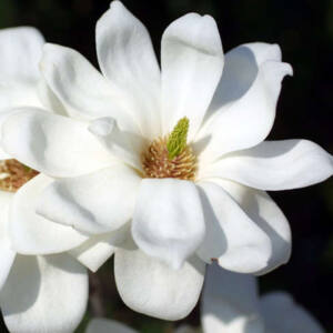 Magnolia denudata 'Double' – Jülan liliomfa