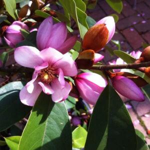 Magnolia 'Fairy Magnolia' – Liliomfa