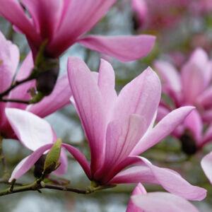 Magnolia 'Galaxy' – Nagyvirágú liliomfa