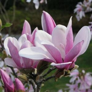 Magnolia 'George Henry Kern' – Rózsaszín virágú liliomfa (extra méretű koros)