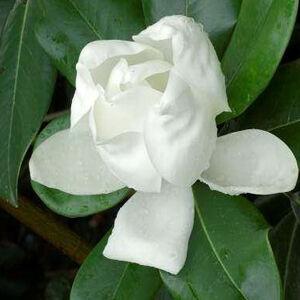 Magnolia grandiflora 'Double Nantais' – Liliomfa