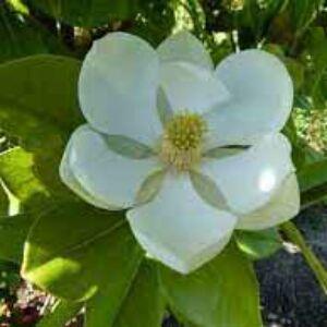 Magnolia grandiflora 'Francois Treyve' – Örökzöld liliomfa