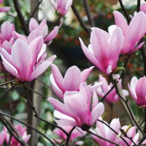 Magnolia 'Heaven Scent' – Nagyvirágú liliomfa