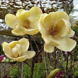 Magnolia 'Honey Tulip' – Liliomfa