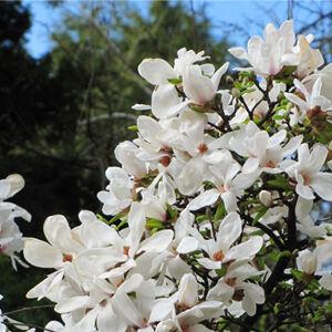 Magnolia kobus – Fehér liliomfa