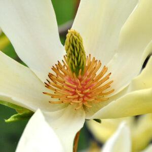 Magnolia 'Limelight' – Liliomfa