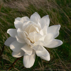 Magnolia loebneri 'Wildcat' – Teltvirágú liliomfa oltvány