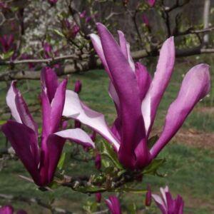 Magnolia 'Orchid' – Liliomfa