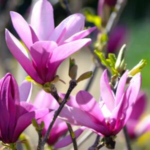 Magnolia 'Randy' - Liliomfa