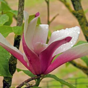 Magnolia 'Royal Crown' – Nagyvirágú liliomfa
