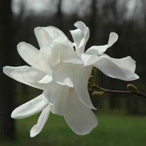 Magnolia 'Ruth' – Liliomfa