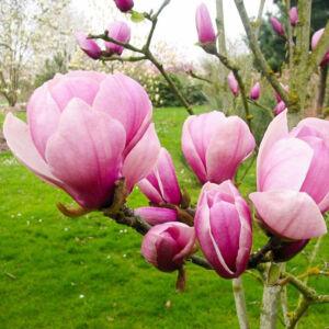 Magnolia 'Sangreal' – Liliomfa