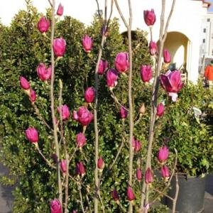 Magnolia 'Shiraz' – Liliomfa