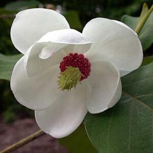 Magnolia sieboldii – Oyama liliomfa
