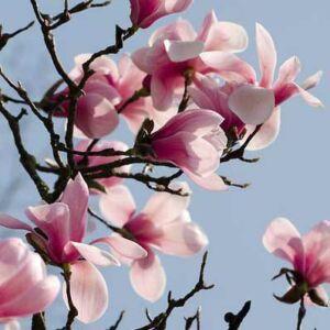 Magnolia sprengeri 'Diva Köln' – Liliomfa