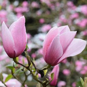 Magnolia 'Star Wars' – Liliomfa