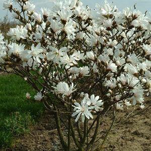 Magnolia stellata – Fehér csillagvirágú liliomfa