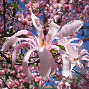 Magnolia stellata 'Rosea' – Csillagvirágú liliomfa (extra méretű koros)