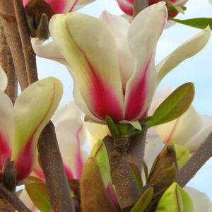 Magnolia concinna  'Sunrise' – Törpe liliomfa oltvány