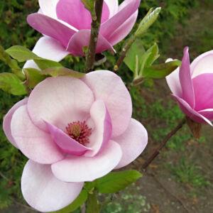 Magnolia 'Sweet Valentine' – Liliomfa