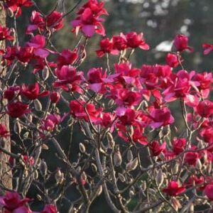 Magnolia 'Vulcan' – Liliomfa