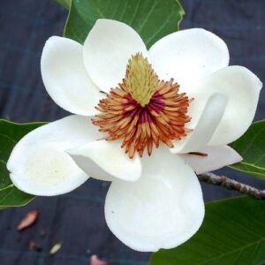 Magnolia x wieseneri – Liliomfa