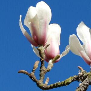 Magnolia zenii – Zen magnólia