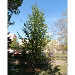Parrotia persica 'Vanessa' – Oszlopos perzsa varázsfa