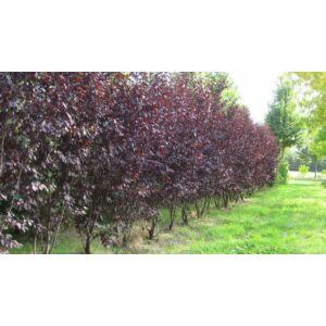 Prunus cerasifera 'Woodii' - Vérszilva