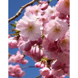 Prunus 'Accolade' - 'Accolade' díszcseresznye