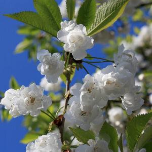 Prunus avium 'Plena' - Teltvirágú díszcseresznye