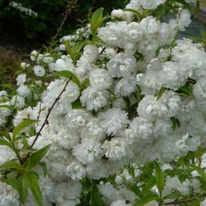 Prunus glandulosa 'Alboplena' – Fehér babarózsa