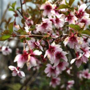 Prunus incisa 'February Red' – Fuji díszcseresznye