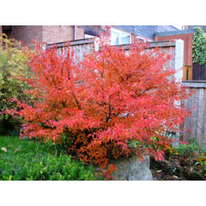Prunus incisa 'Kojo-no-mai' – Fuji díszcseresznye