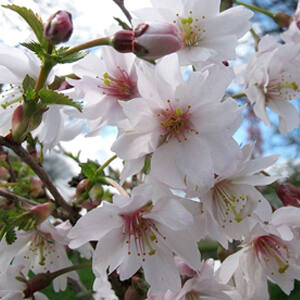 Prunus incisa 'Mikinori' – Fuji cseresznye