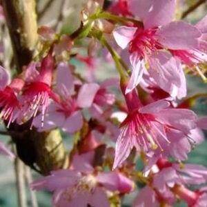 Prunus incisa 'Paean' – Fuji cseresznye