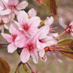 Prunus 'Kornicensis'