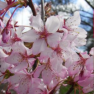 Prunus kurilensis 'Ruby' – Pompás díszszilva