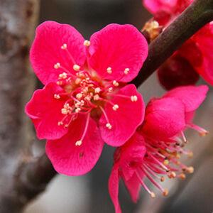 Prunus mume 'Beni-chi-dow' – Japán díszkajszi