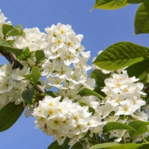 Prunus padus 'Albertii' - 'Albertii' zelnice