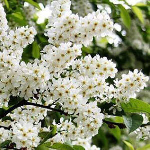 Prunus padus 'Nana' – Törpe zelnicemeggy