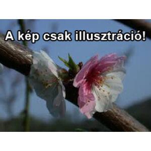 Prunus persica 'Laci' ('Orlóci Kiméra') – Rózsaszín-fehér tarka virágú díszőszibarack