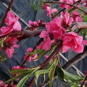 Prunus persica 'Melred Weeping' – Díszőszibarack